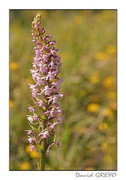 orchis-des-pyrennees