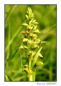 orchis-grenouille