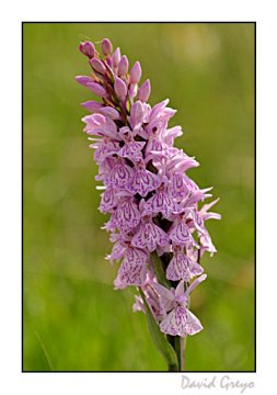orchis-macule
